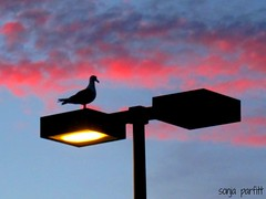 seagull light sunset ...   explore (Sonja Parfitt) Tags: englishbay vancouverbc