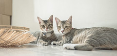 Do-M & Do-S (aludatan) Tags: cats cat pet pets animals animalphotography animal home indoor random amateur life twop catmoments