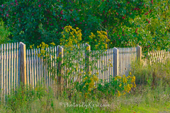 Goldenrod And Picket Fence (KAM918) Tags: maine weather nikon d610 goldenrod fence picket wilton me soft scenery green summer wildflower