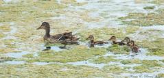 Mallard family (BirdFancier01) Tags: nature duck waterfowl bird pond duckling mallard