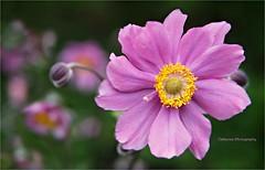 Anmone du Japon (Une femme ...) Tags: anemone japon japanese flower rose pink bokeh