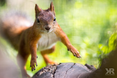 Cage race (rysykas) Tags: orav squirrel