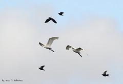 "Little Egrets (annjbee ""Birdie Lover"") Tags: egrets birds waterfoul nature wildlife nottinghamshire birdsinflight"
