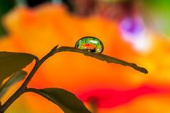 MACRO D300S + 90 TAMRON (Mario jr Nicorelli ( Salgareda Treviso )) Tags: marionicorelli maranza mario macro macrofotografia oderzo mottadilivenza piave pontedipiave salgareda sandondipiave nicorelli nikond300s fiore fotografia fiori