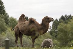 Toronto Zoo 2016 (Rick 2025) Tags: toronto torontozoo mccoytours 2016 animals camel bactriancamel