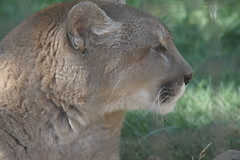 044_Great Cats Park_Cougar (steveAK) Tags: greatcatsworldpark cougar mountainlion