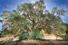 Luras_Ulivi_Millenari_0016_20150916-HDR (ivan.sgualdini) Tags: albero ancient antico luras millenari old olive secolare tree ulivi vita sardegna italy it
