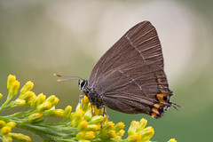 Ulmen-Zipfelfalter  White-letter Hairstreak Satyrium w-album (Bluesfreak) Tags: ulmenzipfelfalter satyriumwalbum tagfalter schmetterlinge insekten whiteletterhairstreak butterfly lepidoptera unterfranken
