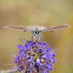 Head to head (franbanks1 -( another day balder ) colin banks) Tags: macro franbanks sigma105mm nikon nature insects butterfly