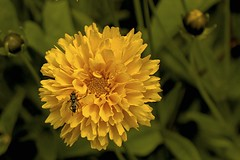 End of summer (4580) (cfalguiere) Tags: animal areahautsdeseine92 areailedefrance coloryellow countryfrance datepub2016q309 fleur flower france insect insecte jaune locationneuilly nature neuilly yellow sel20160925