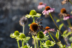 IMG_4843 (rolfkallman) Tags: rudbeckia hst september rabatt blommor