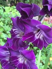 Lila (Moniqas) Tags: nature fs160925 fotosondag sweden purple lila
