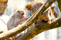 Japanese Monkeys of Yokohama Zoological Gardens :  (Dakiny) Tags: 2016 spring april japan kanagawa yokohama asahiward outdoor nature park zoo zoorasia yokohamazoologicalgardens creature animal mammal monkey macaque japanesemonkey japanesemacaque nikon d7000 tamron 70300mm sp70300mmf456divcusd a005 modela005 nikonclubit