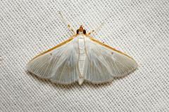 Crambidae sp. (Moth) - Costa Rica (Nick Dean1) Tags: lepidoptera moth arthropoda arthropod hexapoda hexapod insect insecta costarica guanacaste canascastilla lacruz