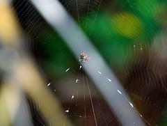 Crab Spider (Emily Kistler) Tags: america beach coquina d750 evening florida nature nikon outdoors usa unitedstates crabspider spider arachnid animal spiderweb web leffiskey leffiskeypreserve wildlife travel
