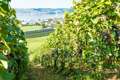 im Weinberg (oonaolivia) Tags: weinberg vineyard nature landscape landschaft spaziergang walk
