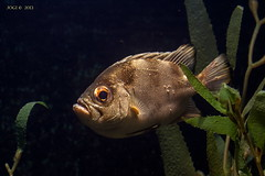 Leipzig, Zoo, Aquarium, Fisch (joergpeterjunk) Tags: leipzig zoo aquarium indoor fisch canoneos50d canonef100400mmf456lisusm
