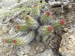 baja-0209 (Robby's Sukkulentenseite) Tags: bajasur brandegeei cacti cactus echinocereus elpescadero erecti fnrrb1025 ka1003s kakteen kaktus mexiko rb1025 reise
