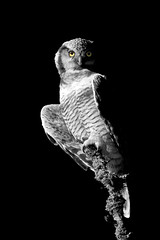 Owl edit (Tuomo Nyknen (off)) Tags: selectivecolour selective owl hiiripll hawkowl photoshop edit surniaulula