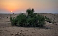 Sunset in the Dubai desert (Tiigra) Tags: sharjah unitedarabemirates ae 2013 dubai landscape nature plant sunset