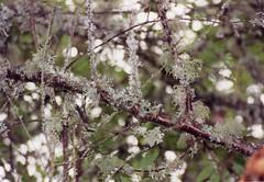 Closeup tree Cawdor Castle 1997 (PattiW2008) Tags: tree lichen england
