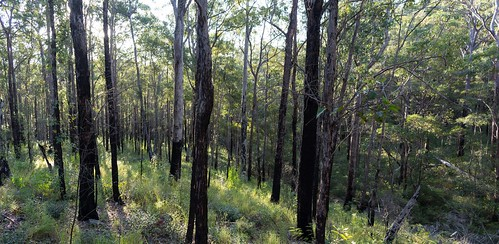 Numinbah woodland