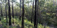 Numinbah woodland (dustaway) Tags: landscape australianlandscape woodland spur gully trees afternoon numinbahforestreserve numinbahvalley nerangrivervalley sequeensland queensland australia eucalyptus australiantrees