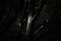 Black Forest (imagetaker!) Tags: darkside tree trees trunk branch bark petebarker peterbarker imagetaker1 imagetaker silverbirch blackforest baildon baildonbank sunlight sunrays silverlight silver hugatree sunshine naturallight woodlands dof depthoffield