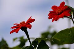 Inconnues - Fleurs rouges (Somnium...) Tags: fleurs flowers nature extrieur nikon rouge red