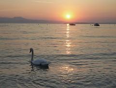 Versus autumn. (Marythere *on/off*) Tags: gardalake swan magic moment mood moody sunrise swimming