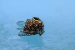 IMG_7321 (petrosli) Tags: spider macro closeup canon eos500d eos nature