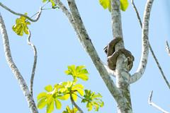 1/2 Three-toed Sloth.. Paresseux  gorge brune Manu Peru 2 photos (geolis06) Tags: geolis06 prou peru per amriquedusud southamerica manu amazonie amazonia rainforest jungle fort forest madrededios biospherereserve parcnationaldeman mannationalpark 2016 patrimoinemondial unesco unescoworldheritage unescosite pantiacollatour nikon nikond7200 sigma sigma150600mmf563dgoshsmcontemporary paresseuxgorgebrune threetoedsloth bradypusvariegatus paresseux