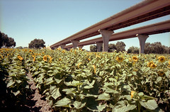 Central Valley, CA (easy.beta) Tags: 2016 35mm c41 california carlzeiss colornegative kodak kodakportra400 leica leicam6 analog august carlzeisszm28mmf28filmnorthern rangefinder summer interstate5 i5 highway sunflowers centralvalley sacramento