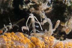 Upper hand (Caprella mutica) (Arne Kuilman) Tags: diopter subsee 10 macro supermacro closeup zeelandbrug zlb oosterschelde zeeland diving duiken nederland netherlands spookkreeftje harigspookkreeftje caprellamutica