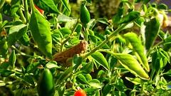 """Go away human"" (andrealamalfa) Tags: grillo grasshopper pipi peperoncino pepper plant pianta verde natura green nature sunny red rosso life italia bologna italy macro sony z3 xperia foglie leaf"