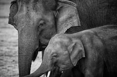 Sri Lankan Elephant (PY 1875) Tags: safari minneriya srilanka elephant