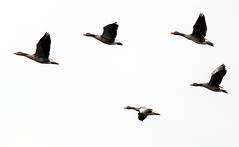 flying south 2 (Danyel B. Photography) Tags: gnse goose geese animal tier vogel bird nature natur flying fliegen