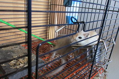 food defender (Annie-Sue Jyelra) Tags: gerbil cage food bowl sit