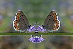 butterfly (mak.27) Tags: trkiye turkey gaziantep colors mirror macro