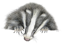 Badger (Watercolor) (jeanchristophegueguen) Tags: badger europeanbadger blaireau blaireaueuropen mustlid mustelidae meles biodiversityevolutionoftheanimalworldabriefhistoryofanimals biodiversityandevolutionoftheanimalworldabriefhistoryofanimals biodiversitevolutiondumondeanimalunebrvehistoiredesanimaux biodiversitetevolutiondumondeanimalunebrvehistoiredesanimaux handbook book draw drawing paint painting pencil color watercolor dessin peinture crayon couleur aquarelle illustration biodiversit biodiversity nature naturalist jeanchristophegueguen guc 2016