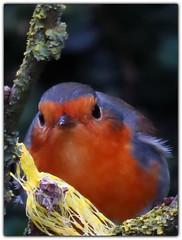 ... ma place... mais pas cette fois :p (laetitiablabla) Tags: france bird animal canon erithacus burgundy powershot bourgogne oiseau rougegorge familier rubecula yonne flickraward sx50