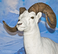 Dall Sheep in New York (D200-PAUL) Tags: newyorkcity newyork sheep centralpark manhattan upperwestside bighorn amnh diorama americanmuseumofnaturalhistory bighornsheep rockymountainbighornsheep sheepbighorn mammalsofnorthamerica hallofmammalsofnorthamerica