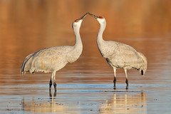 Kissing Cranes (Jeff Dyck) Tags: two newmexico birds kissing couple pair cranes bosque socorro sandhill bosquedelapache sandhillcranes jeffdyck sanantonito avianexcellence coth5 griscanadensis