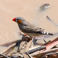 zebra finch (Fat Burns) Tags: bird finch zebrafinch australianwildlife australianbird smallbird specanimal