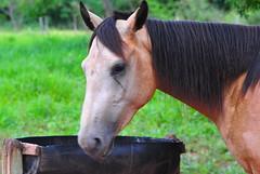 Quer um pouco??? (Walter Scaranto) Tags: horses horse cavalos cavalo d3000 scaranto walterscaranto brasilemimagens