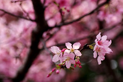 Plum blossoms (**Alice**) Tags: flowers flower macro tree bokeh taiwan     plumblossoms  70mm flori  copac  floare wonderfulworldofflowers  sony450