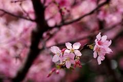 Plum blossoms (**Alice**) Tags: flowers flower macro tree bokeh taiwan     plumblossoms  70mm flori  copac  floare wonderfulworldofflowers  sony450