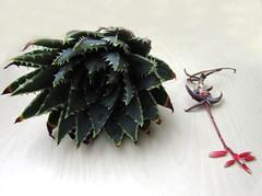 Aloe polyphylla y Aloe inexpectata (juan_y_ana) Tags: aloe y polyphylla inexpectata
