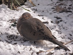 Brrr  20° today (MissyPenny) Tags: winter snow pennsylvania wildlife mourningdove southeasternpa pdlaich missypenny