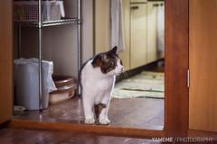 My Friend's Cat ジェリー Jerry / Tokyo, Japan (yameme) Tags: travel pet japan cat canon eos tokyo jerry 日本 shinagawa 東京 旅行 meguro 寵物 貓 品川 nishikoyama 24105mmlis 目黑 西小山 5dmarkii 5d2 ジェリー